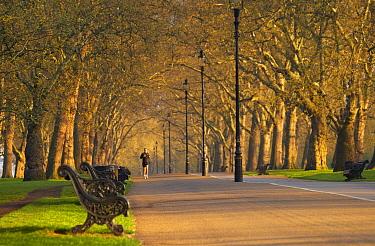 Jogger in Hyde Park, early morning, London, England, UK  -  David Noton/ npl