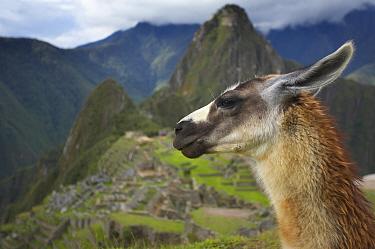 Llama in front of Inca ruins, Machu Picchu, Peru  -  David Noton/ npl