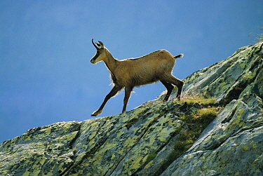 Chamois (Rupicapra rupicapra) Gran Paradiso National Park, Italy  -  Ingo Arndt/ npl