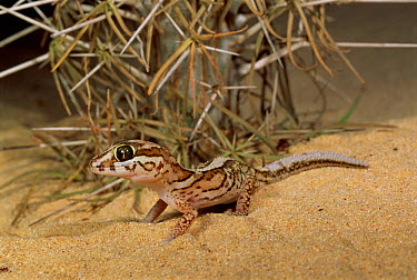 Big headed gecko in spiny desert (Paroedura pictus) Ifaty, Madagascar  -  Nick Garbutt/ npl