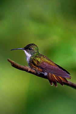 White chested emerald hummingbird (Amazilia chionopectus) perching on branch, Asa Wright, Trinidad  -  Pete Oxford/ npl