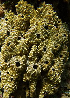 Sponge (Ircinia fasciculata) Mediterranean Spain  -  Jose B. Ruiz/ npl