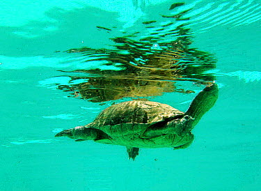 Spanish terrapin (Mauremys leprosa) swimming Spain  -  Jose B. Ruiz/ npl