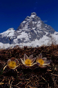 Spring pasque flower with Matterhorn in background, The Alps Italy  -  John Downer/ npl