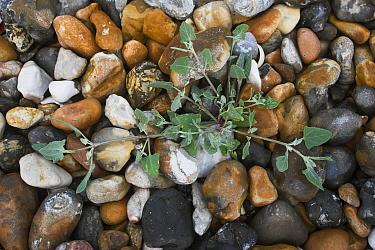 Common Orache (Atriplex patula) growing on vegetated shingle, Climping SSSI, Sussex UK  -  Simon Colmer/ npl
