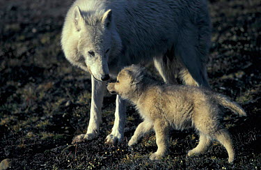 Grey wolf white Arctic form wild (Canis lupus) pup begging for food from mother Ellesmere  -  Jeff Turner/ npl