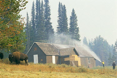 Bison beside fire fighter spraying wood cabin with fire retardant foam to protect it from forest fire, Yellowstone NP, Wyoming, USA 1988  -  Steven Fuller/ npl
