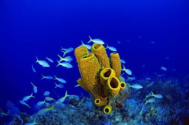 Yellow tube sponge (Aplysina fistularis) with Yellowtail snappers (Ocyurus chrysurus Cayman Brac, Cayman Islands, Caribbean  -  Doug Perrine/ npl