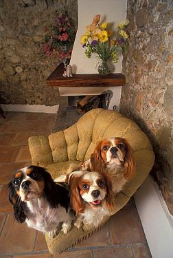Three Cavalier King Charles spaniels sitting on armchair  -  Adriano Bacchella/ npl