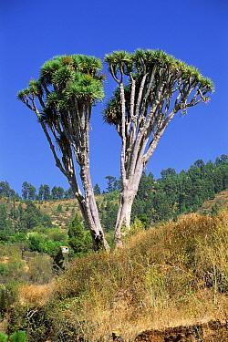 Dragon tree (Dracaena draco) twin tree, La Palma, Canary Islands  -  Martin Gabriel/ npl