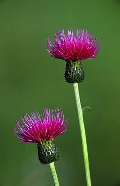 Melancholy thistle (Cirsium helenoides) UK  -  Geoff Simpson/ npl