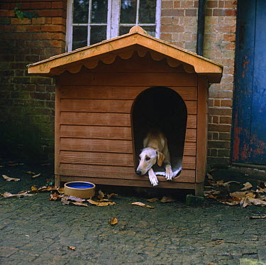 Gold Saluki Lurcher (Canis familiaris) dog lying in his kennel  -  Jane Burton/ npl