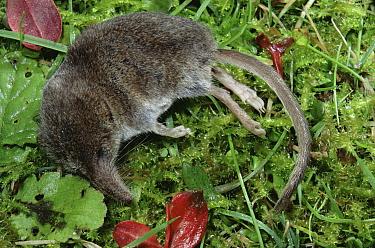 Lesser, Pygmy shew (Sorex minutus) lying dead UK  -  Mark Taylor/ npl