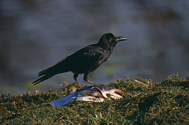 Large Billed, Jungle Crow (Corvus macrorhynchos) feeding on fish, North India  -  David Tipling/ npl