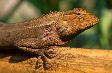 Garden lizard (Calotes versicolor) Chitwan NP, Nepal  -  Bernard Castelein/ npl