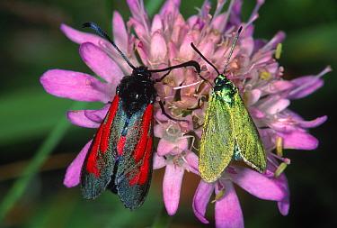 Burnet moths (Zygaena purpuralis) and (Zygaena minos) Germany  -  Hans Christoph Kappel/ npl