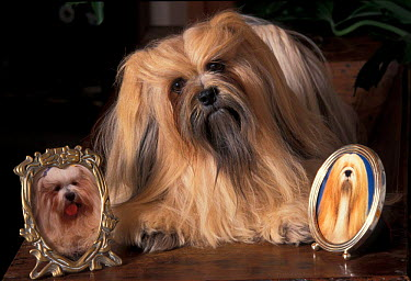 Domestic dog, Lhasa Apso with framed pictures of other lhasa apsos  -  Adriano Bacchella/ npl