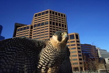 Peregrine falcon {Falco peregrinus} against skyline of Denver city, Colorado, USA  -  Shattil & Rozinski/ npl