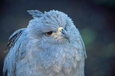 Crowned eagle (Stephanoaetus coronatus) captive, Argentina  -  Gabriel Rojo/ npl