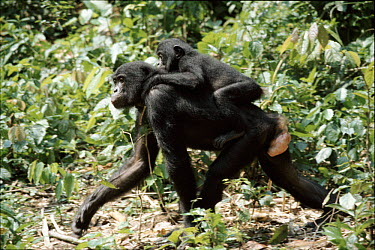 Bonobo mother carrying baby (Pan paniscus) tropical rainforest, Zaire  -  Karen Bass/ npl