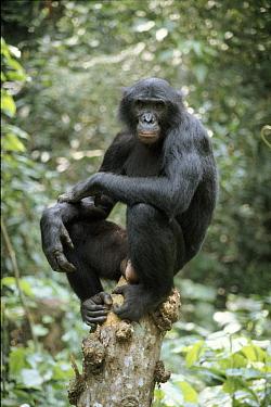 Wild Bonobo adult male, Wamba, Zaire, in tropical rain forest  -  Karen Bass/ npl