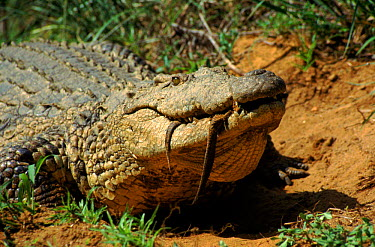 Female Nile crocodile carrying hatchlings in mouth Natal, South Africa  -  Karen Bass/ npl