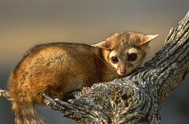 Ringtail Cat (Bassariscus astutus) captive, Montana, USA  -  David Welling/ npl