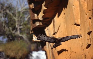 Crowned eagle (Stephanoaetus coronatus) flying past building, Inyangombe Nyanga, Zimbabwe  -  John Downer/ npl