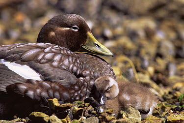 Flightless Steamer Duck with duckling chick (Tachyeres pteneres) East Falkland Island  -  Pete Oxford/ npl