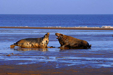 Grey seal male and female hauled up on beach, Humberside, UK (Halichoerus grypus)  -  Mike Wilkes/ npl