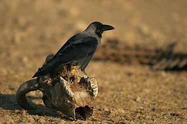 Jungle crow (Corvus macrorhynchos) perched on sheep skull, Khichan, India  -  Bernard Castelein/ npl
