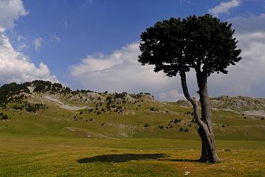 Mountain pine (Pinus uncinata) isolated on Vercors plateau, Parc naturel r?gional du Vercors, Alps, France  -  Jean E. Roche/ npl