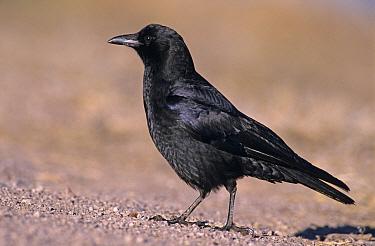 Common American Crow (Corvus brachyrhynchos), Bosque del Apache National Wildlife Refuge, NM, USA Dec 2003  -  Rolf Nussbaumer/ npl