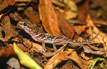 Big headed gecko (Paroedura pictus) Berenty FR, S Madagascar  -  Nick Garbutt/ npl