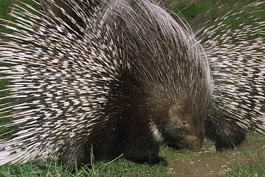 Cape crested porcupine (Hystrix africaeaustralis) captive, from Southern Africa  -  Rod Williams/ npl