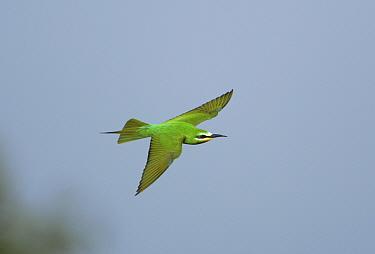 Blue cheeked bee eater flying (Merops persicus), Sohar, Oman  -  Hanne & Jens Eriksen/ npl