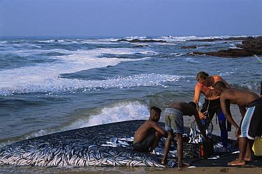 Local fishermen harvest Sardines (Sardinops sagax) from beach seine net during annual Sardine Run, Sunwich Port, Kwazulu-Natal, South Africa  -  Doug Perrine/ npl