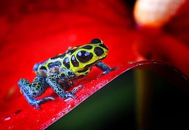 Poison dart frog (Dendrobates imitator) captive, Peru  -  Michael D. Kern/ npl