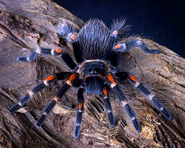 Mexican red-knee tarantula (Brachypelma smithi) captive, Mexico  -  Michael D. Kern/ npl