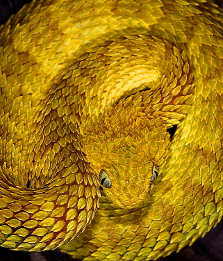 Variable, African bush viper snake (Atheris squamiger) captive, occurs equatorial Africa  -  Michael D. Kern/ npl