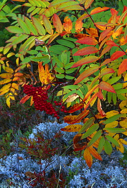 Autumn colours, Dogberry (Sorbus americana) Newfoundland, Canada  -  David Noton/ npl