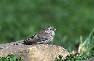 Yemen serin (Serinus menachensis) Oman  -  Hanne & Jens Eriksen/ npl
