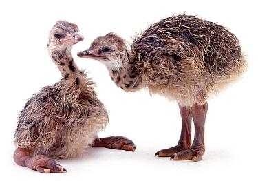 Two baby Ostriches (Struthio camelus) Captive  -  Jane Burton/ npl