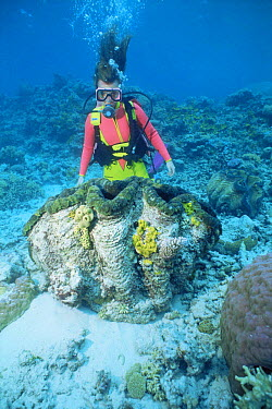 Diver with Giant clam (Tridacna gigas) Great Barrier Reef, Queensland, Australia  -  Doug Perrine/ npl