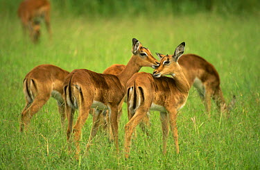 Female Impala (Aepyceros melampus) allogrooming in grass, Mala Mala GR, Mpumalanga, South Africa  -  Pat De La Harpe/ npl