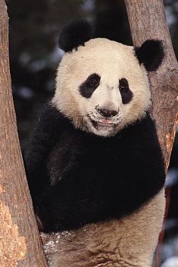 Giant panda portrait (Ailuropoda melanoleuca) Wolong Valley, China  -  Pete Oxford/ npl