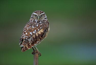 Burrowing owl in the Everglades, Florida, USA  -  Bernard Castelein/ npl