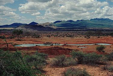 Water hole, Tsavo NP, Kenya Common zebra drinking  -  Barrie Britton/ npl
