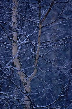 Silver birch (Betula verrucosa) in winter Sweden, Scandinavia, Europe  -  Dietmar Nill/ npl