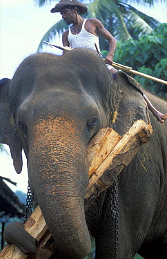 Working Indian elephant (Elephas maximus) Pinnewala Elephant Orphanage, Hill Country, nr Kandy, Sri Lanka  -  David Noton/ npl